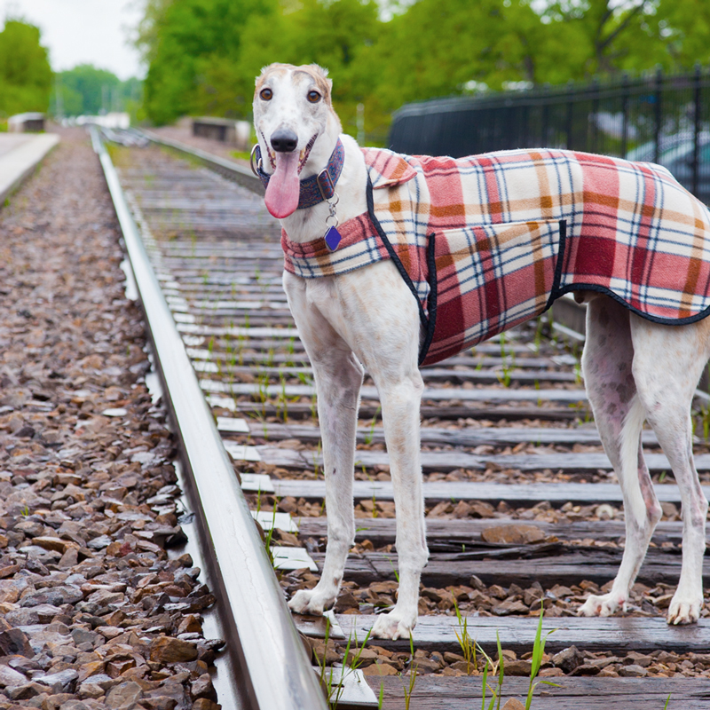 a greyhound standing on train tracks