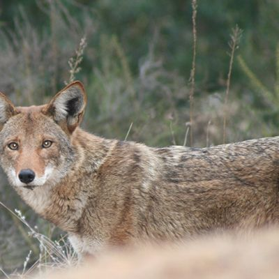 Wildlife Coyote