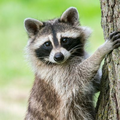 Raccoon on tree
