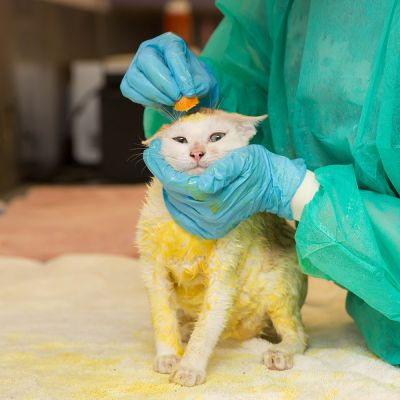 Cat with ringworm getting treatment with a sponge