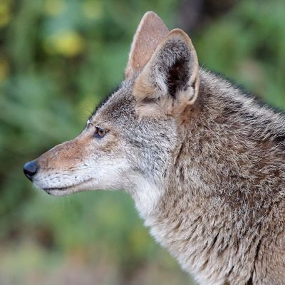 Coyote in profile
