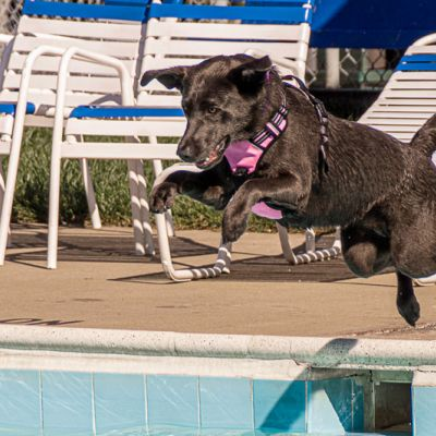 a dog leaps into a pool
