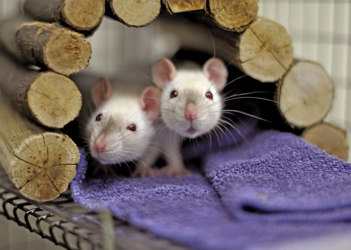 two albino rats peer out of a wooden arch