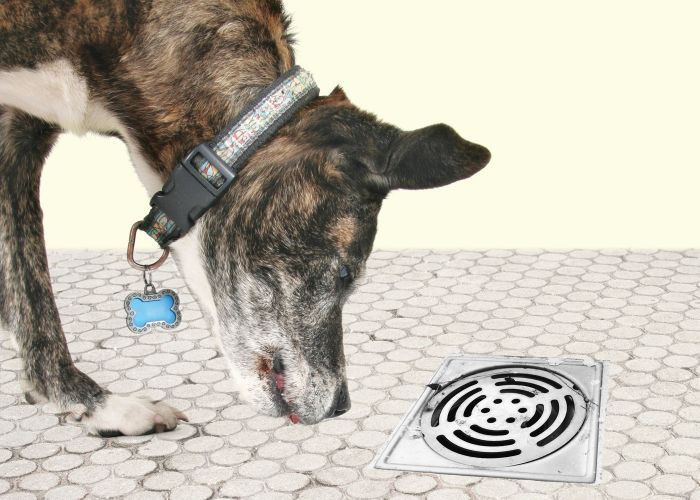 A dog sniffing at a bathroom drain