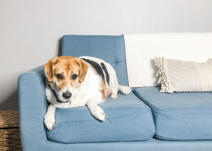a dog sitting on a blue couch