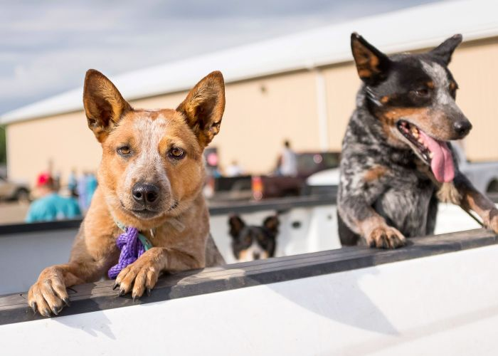 Two dogs peering over the bed of a truck