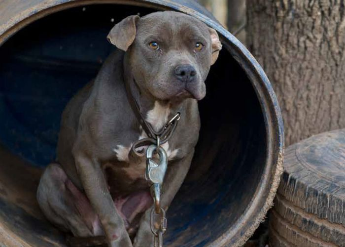 a dog wearing a heavy chain sitting inside a barrel