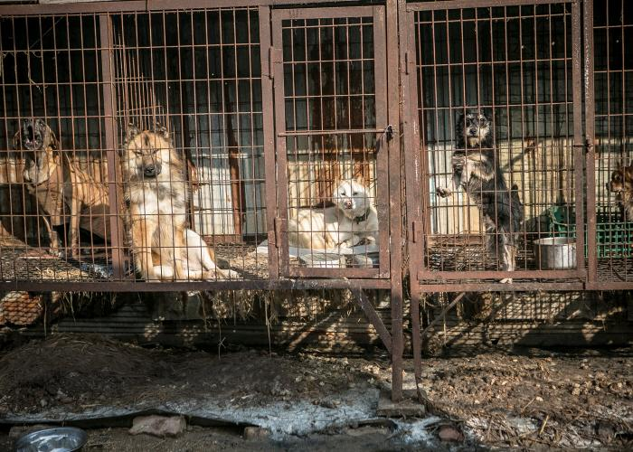 dogs in rusty cages at a korean dog meat farm