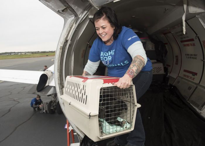 Kate Schrader assists with the transport of dogs and cats