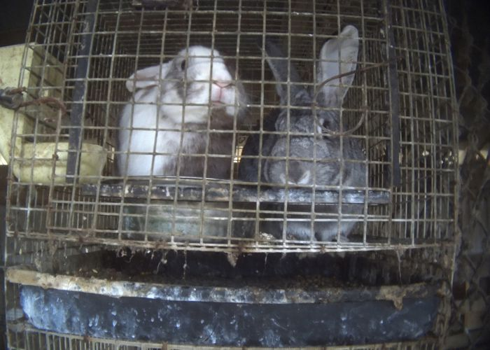 two rabbits in a filthy rusted cage