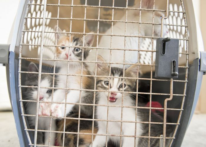Three calico kittens in a crate