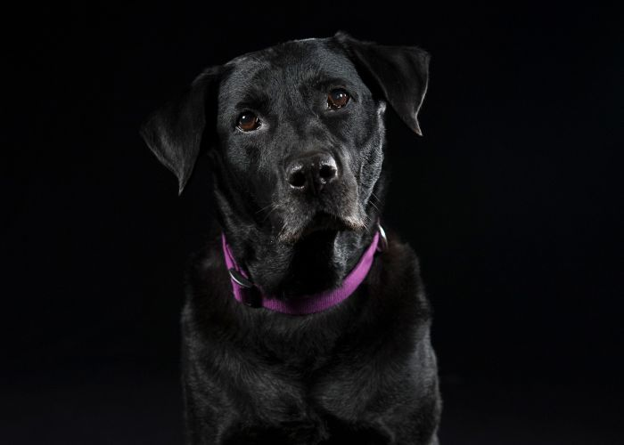a large black dog in a purple collar
