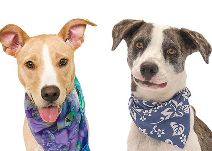 two dogs in bandanas
