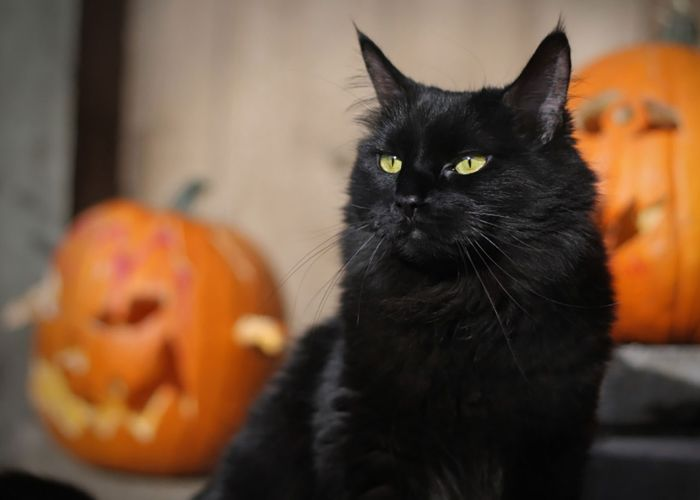 A black cat between jack-o-lanterns