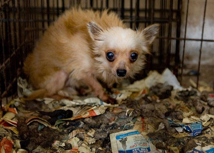 a frightened dog in crate filled with feces and soiled newspapers