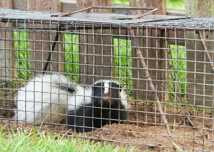 Skunk in a Trap