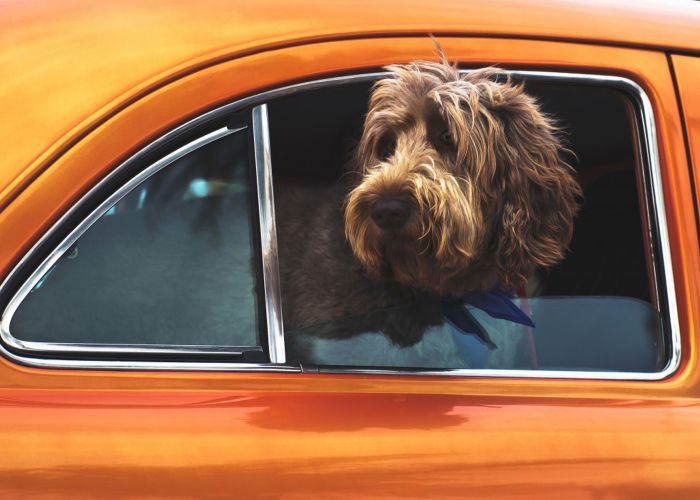 a dog pokings its head out of the window of an orange car