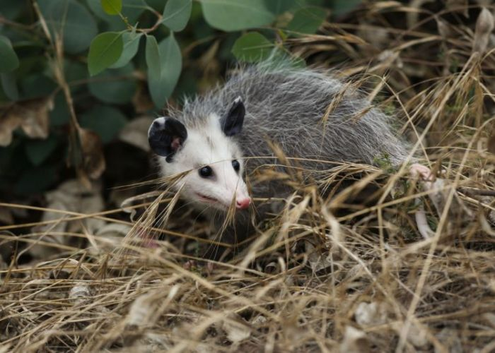 an opossum standing beneath a bush
