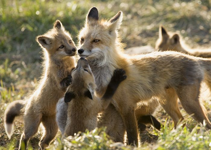 a mother fox surrounded by her kits