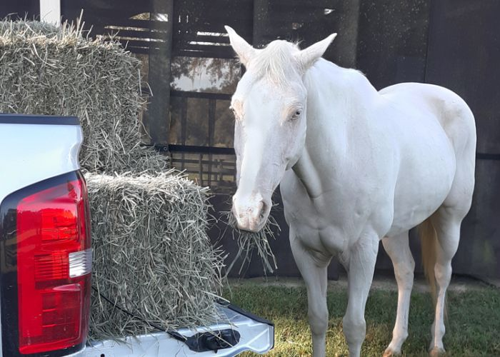 a white horse standing alongside a truck full of hay