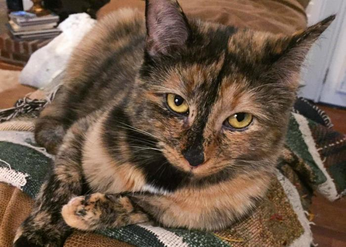 a tortoiseshell cat sitting on the back of a couch